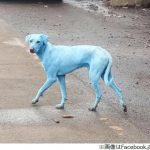 インドの青い犬 有毒塩化物で汚染された川で泳いだことが原因